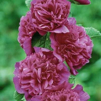 Hollyhock chaters double violet