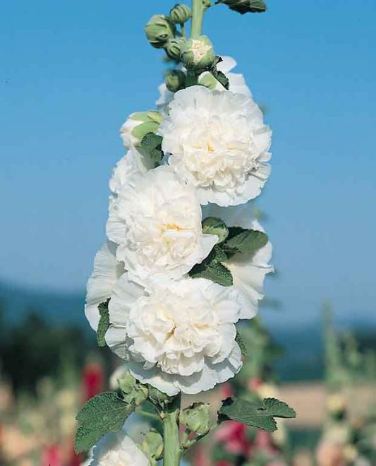 Hollyhock chaters white icicle