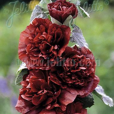 Hollyhock chestnut brown