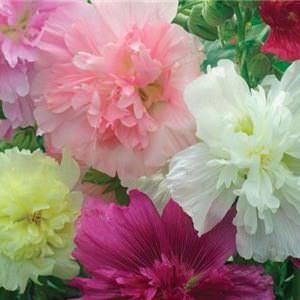 Hollyhock queeny mix