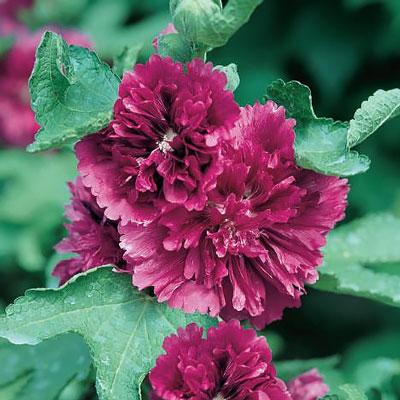 Hollyhock queeny purple