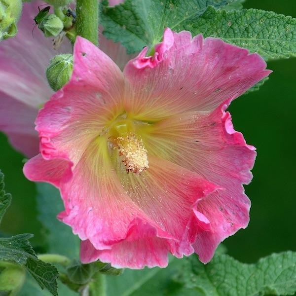 Hollyhock radiant rose spotlight