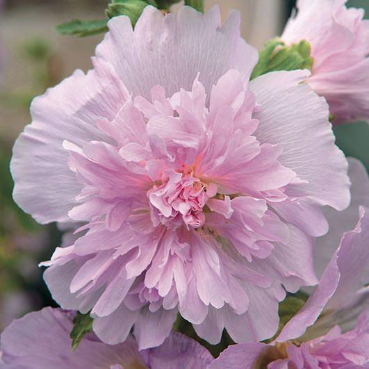 Hollyhock spring celebrities lilac