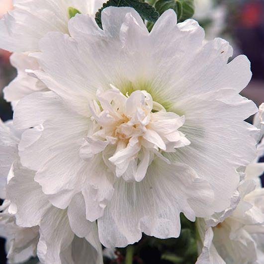 Hollyhock spring celebrities white