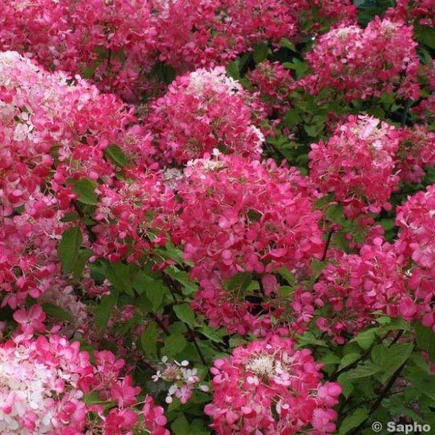 Hortensia paniculata diamant rouge 67830 2 1