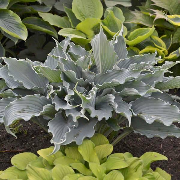 Hosta shadowland waterslide