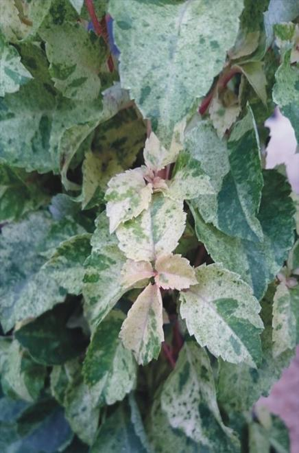 Hydrangea anomala petiolaris tricolor
