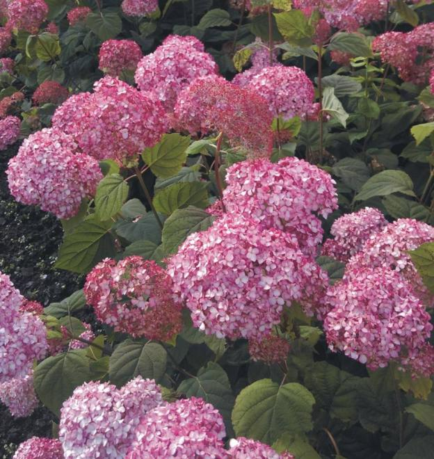 Hydrangea arborescens magical tinkerbell