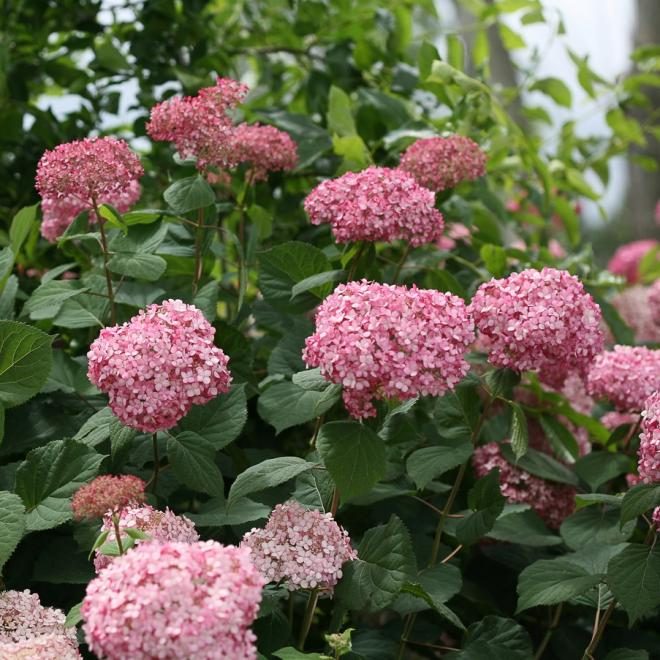 Hydrangea arborescens ncha2 invincibelle spirit ii photo proven winners