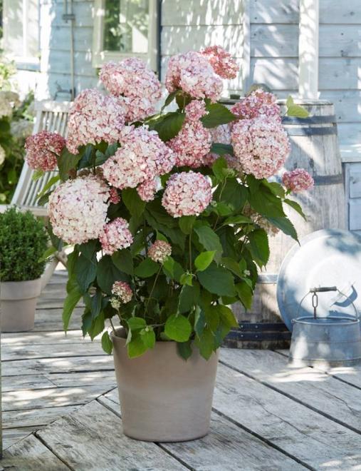 Hydrangea candybelle bubblegum