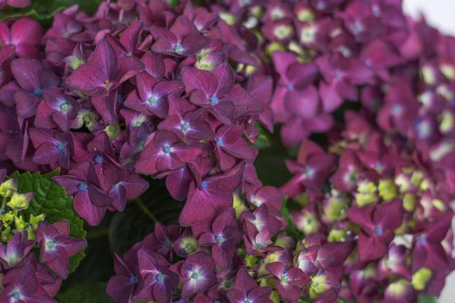 Hydrangea forever ever purple 2