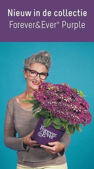 Hydrangea forever ever purple