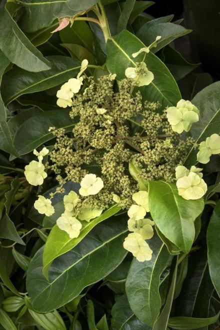 Hydrangea integrifolia taiping shan