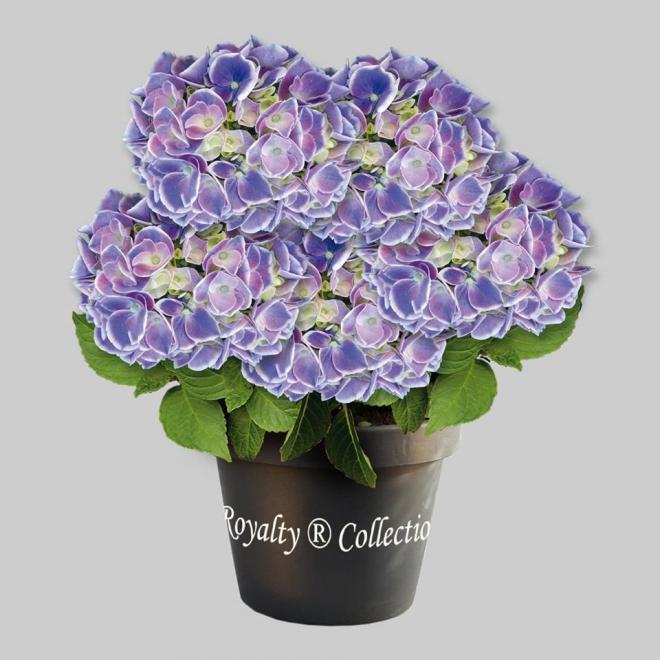 Hydrangea macrophylla cabaret blue