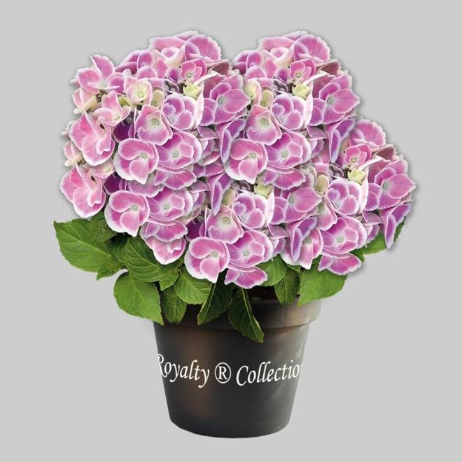 Hydrangea macrophylla cabaret pink 2