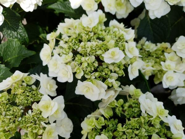 Hydrangea macrophylla dancing snow