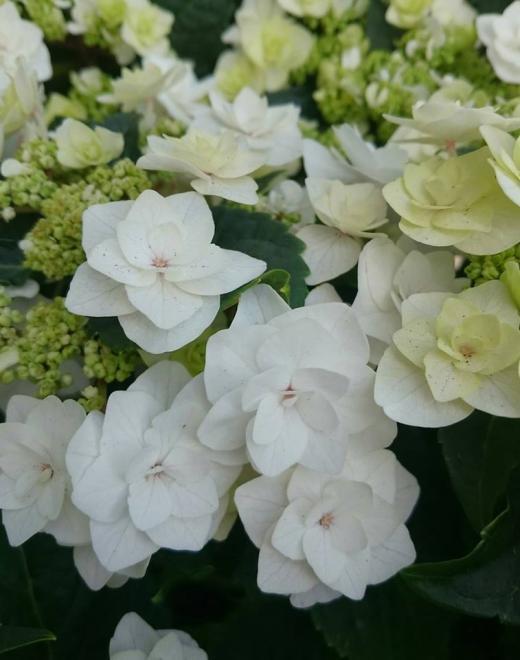 Hydrangea macrophylla double dutch white