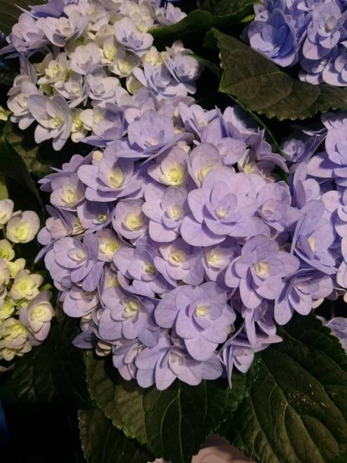Hydrangea macrophylla florentina blue