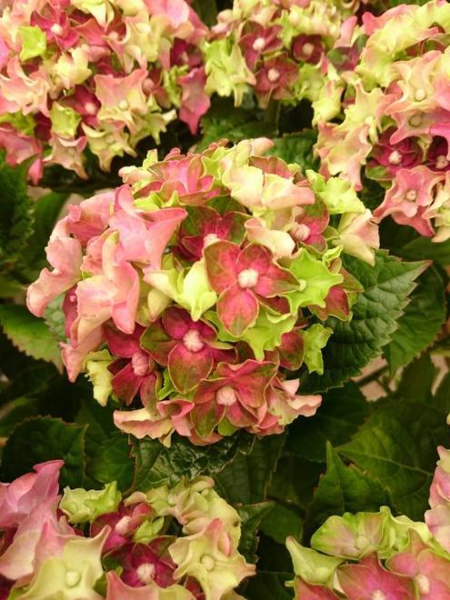 Hydrangea macrophylla green lips