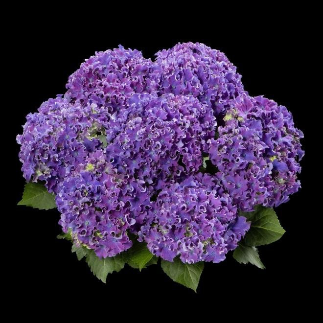 Hydrangea macrophylla h213901 curly sparkle photo hydrangea breeders association1