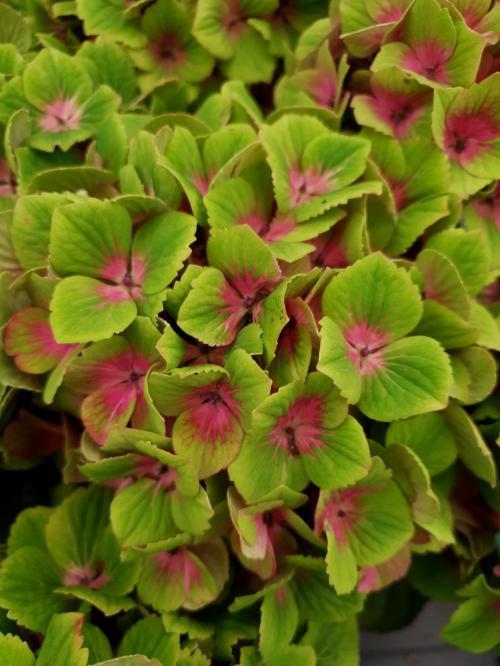 Hydrangea macrophylla hokomagrede