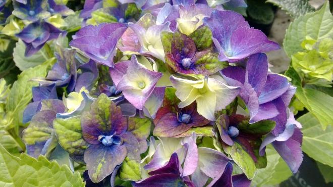 Hydrangea macrophylla jong 01 lady mata hari photo de jong plants