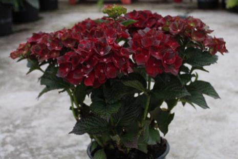 Hydrangea macrophylla roco black knight 1