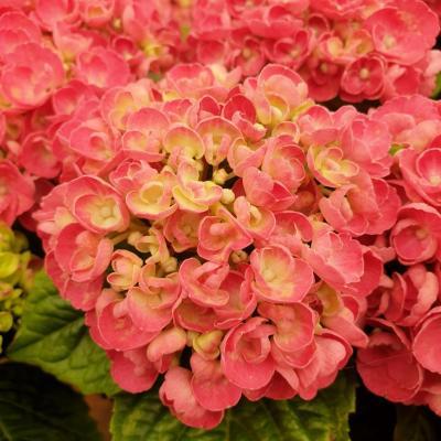Hydrangea macrophylla roco rosie pink