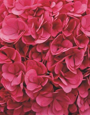Hydrangea macrophylla ruby blossom