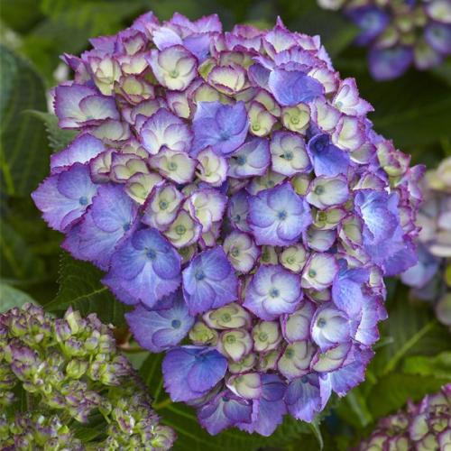 Hydrangea macrophylla sparkling blue