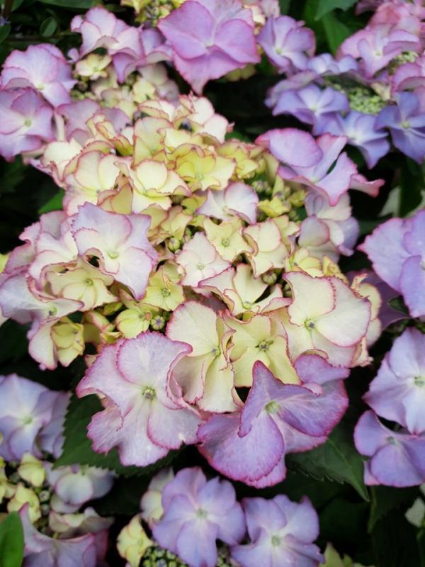 Hydrangea macrophylla tiffany purple