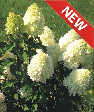 Hydrangea paniculata candy apple