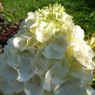 Hydrangea paniculata magical mont blanc sv paquereau