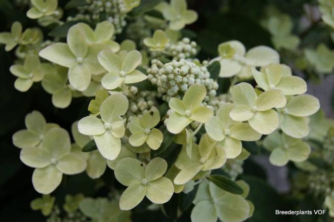 Hydrangea paniculata polestar 2