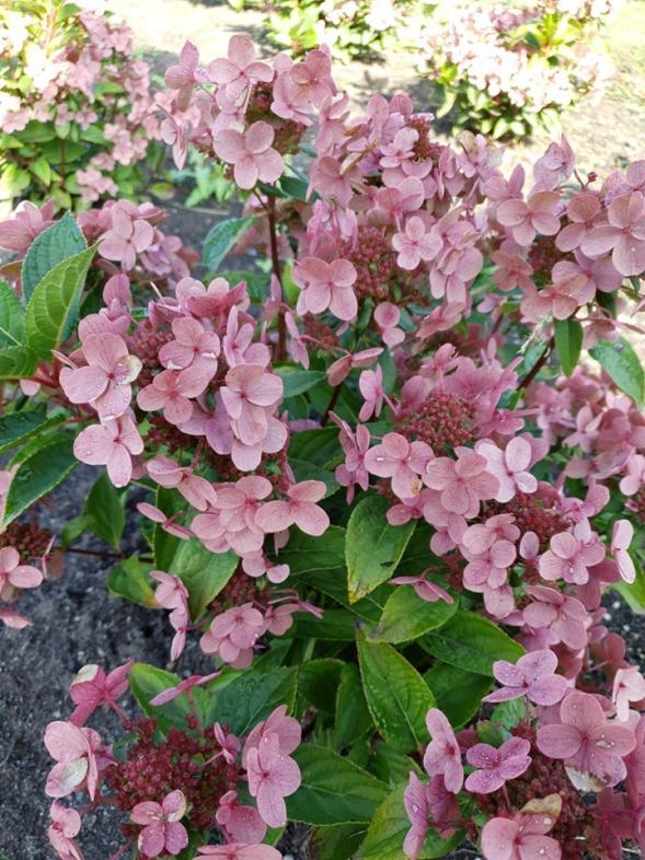 Hydrangea paniculata polestar 3