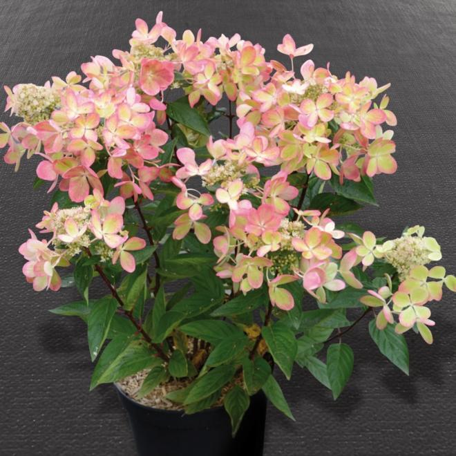 Hydrangea paniculata rencolor pastelgreen photo sapho iii