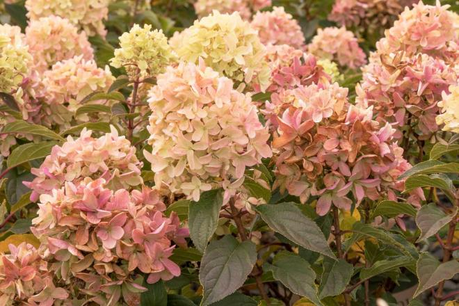 Hydrangea paniculata strawberry shake 2