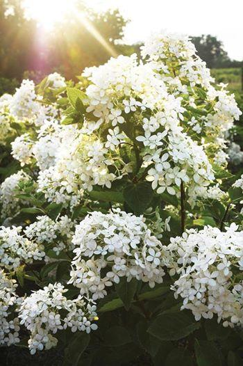 Hydrangea paniculata sugar puff
