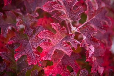 Hydrangea quercifolia jetstream 1