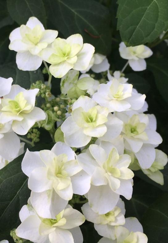 Hydrangea serrata white on white
