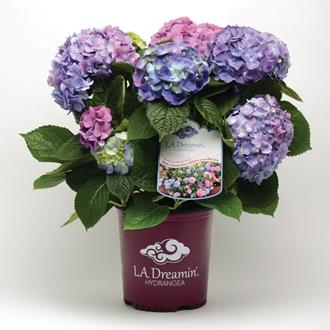 Hydrangea x macrophylla l a dreamin sv silence ca pousse hortival