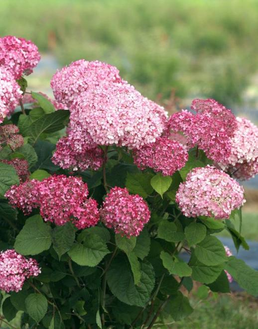 Hydrangeea arborescens pink annabelle 1