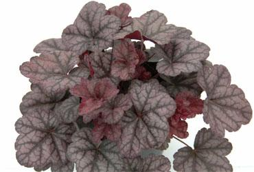 Hz heuchera littleprince