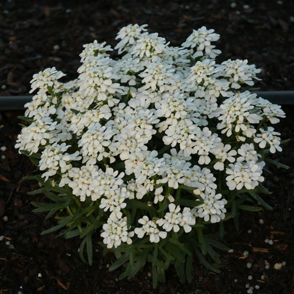 Iberis sempervirens snowsation