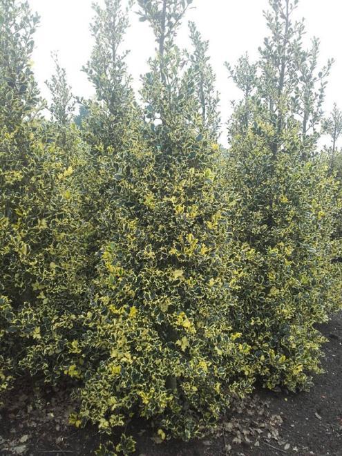 Ilex aquifolium briots menhir
