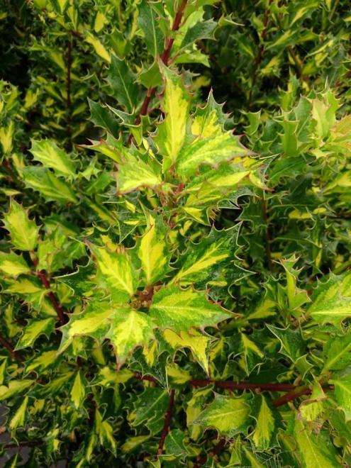 Ilex aquifolium iza
