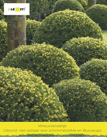 Ilex i lexit dark green