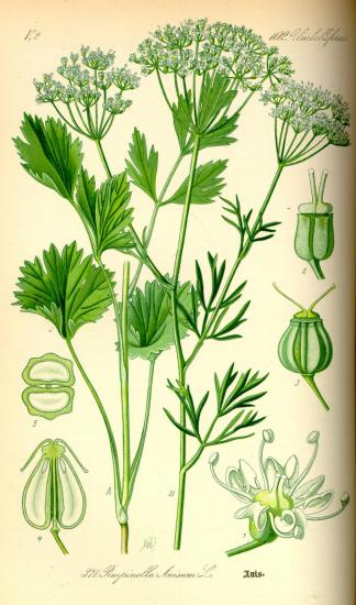 Illustration pimpinella anisum0