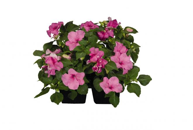 Impatiens lollipop bubblegum pink n7041 1