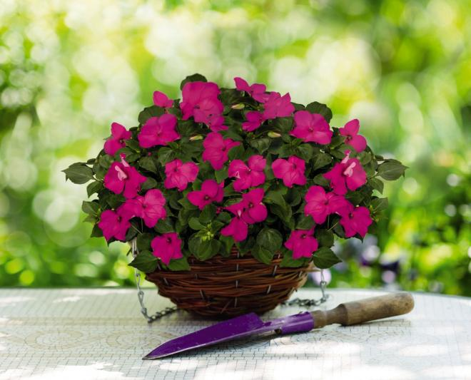 Impatiens lollipop pomegranate carmine n7001 1